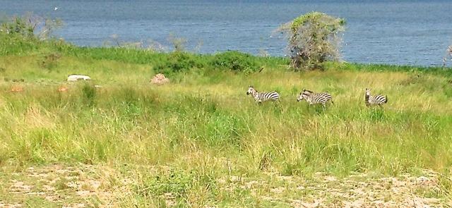 saanana-park-zebras